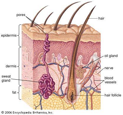 De huid bestaat uit 3 lagen.